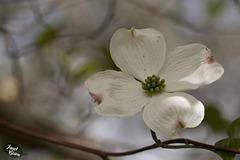 301/366: Lovely Dogwood Blossom
