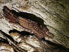 Oilbird / Steatornis caripensis, Dunston Cave, Asa Wright Nature Centre, Trinidad