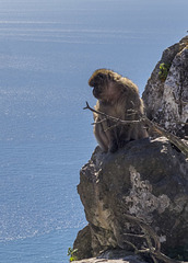Barbary Macaque on Gibraltar