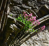 Red Campion at Tintern Abbey