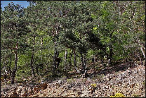Bois de boulange -Pins Sylvestres (2)