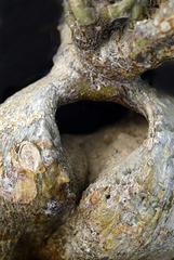 Pachypodium obesum's heart....