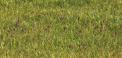 Almwiese mit unzählig vielen Knabenkräuter (wilde Orchideen) Dactylorhiza