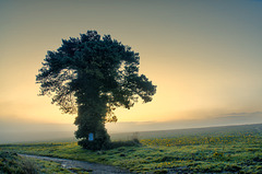 arbre à la vouivre