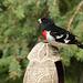 Rose-breasted Grosbeak on feeder from Trinidad