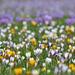 Frühlingswetter Krokusmeer und mehr (PiP)