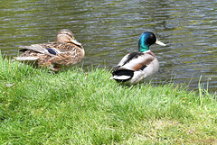 Mr and Mrs Mallard.