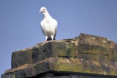 Albino pigeon.
