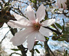 Star Magnolia by My Lovely Wife