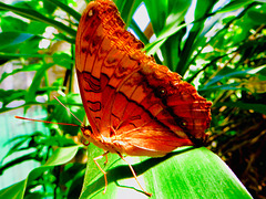 Butterfly: Photographed  in Kuranda, Cairns, Australia.