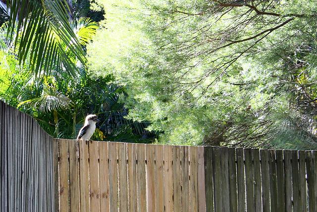 179/365 Urban Kookaburra