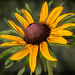 237/366: The Magnificent Black-Eyed Susan