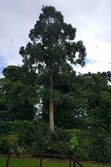 Eucalyptus Tree At Ardardan