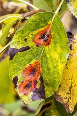 Pear leaves 'pleochroic halos'