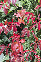 Red leaves and green