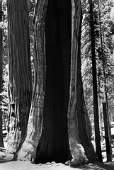 Sequoia Nat Park, BW