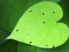 Gorgeous heart shaped leaf
