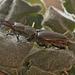 Stag beetle stack IMG_0231