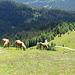 Pferde auf der Klammbachalm - HFF