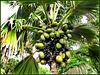 MAHE' : una bella palma di 'Coco de mer'