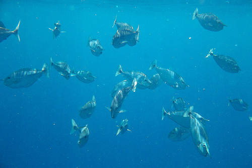 School of horned fish