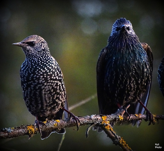 The couple.. and  End of filming of common starling