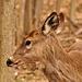 st bruni may 7 2017 deer DSC 3615