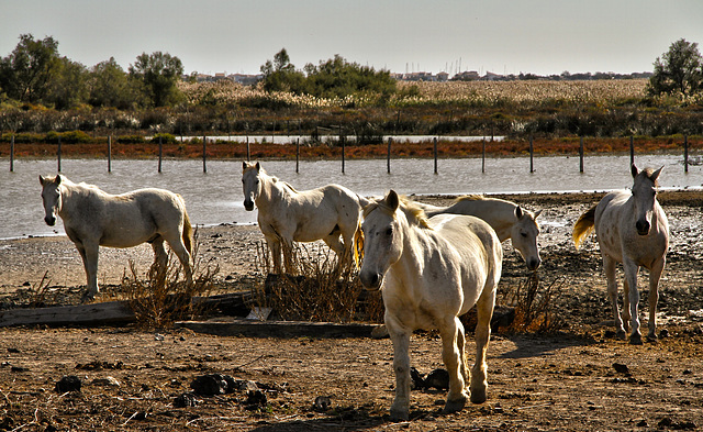 Gang des cavallos (Centre  de la Camargue)