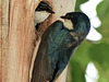 Tree Swallows - time to change places