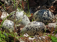 Killdeer 'nest' and eggs - a telemacro shot