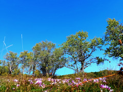 Autumn crocus field
