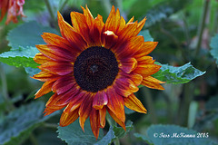 Sunflower  084 copy