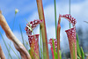 White Pitcher Plants