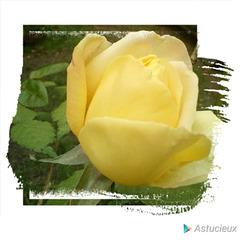 Rose de Novembre avec Astucieux
