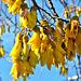 Kowhai Blossom