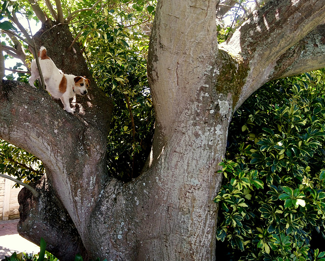 Tree Russell Terrier