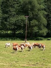 Rinder sind neugierig