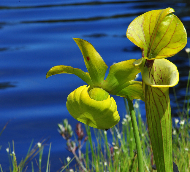 Flower of the Green Pitcher Plant