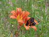 Pipevine swallowtail on daylily flower