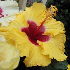 Y like YELLOW hibiscus