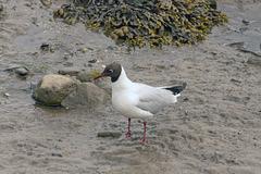 Black Headed Gull.