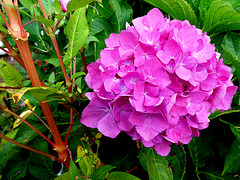 Reuzenbalsemien en hortensia