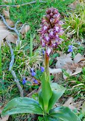 Orchis sauvage...Barleria ( Himantoglossum robertianum )Merci Neira♫