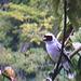 30 Tityra semifasciata (Masked Tityra)