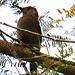 31 Melanerpes aurifons (Golden-Fronted Woodpecker)