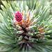 Bergkiefer (Pinus mugo).  ©UdoSm