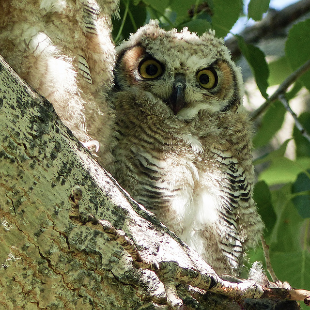 One of three young owls