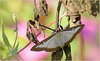 Box-tree moth ~ Buxusmot (Cydalima perspectalis)...