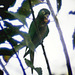 32 Eupsittula nana astec (Aztec Parakeet)