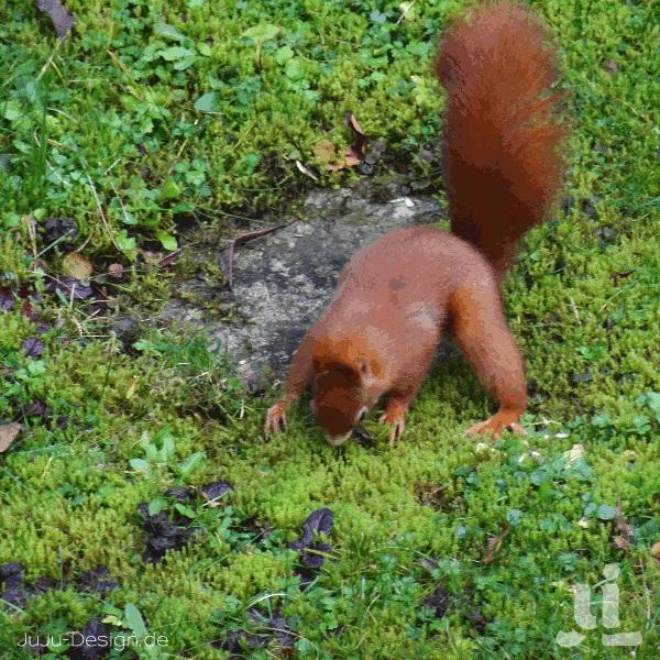Eichhörnchen rupft Moos für einen Kobel